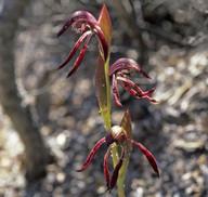 Burnettia nigricans