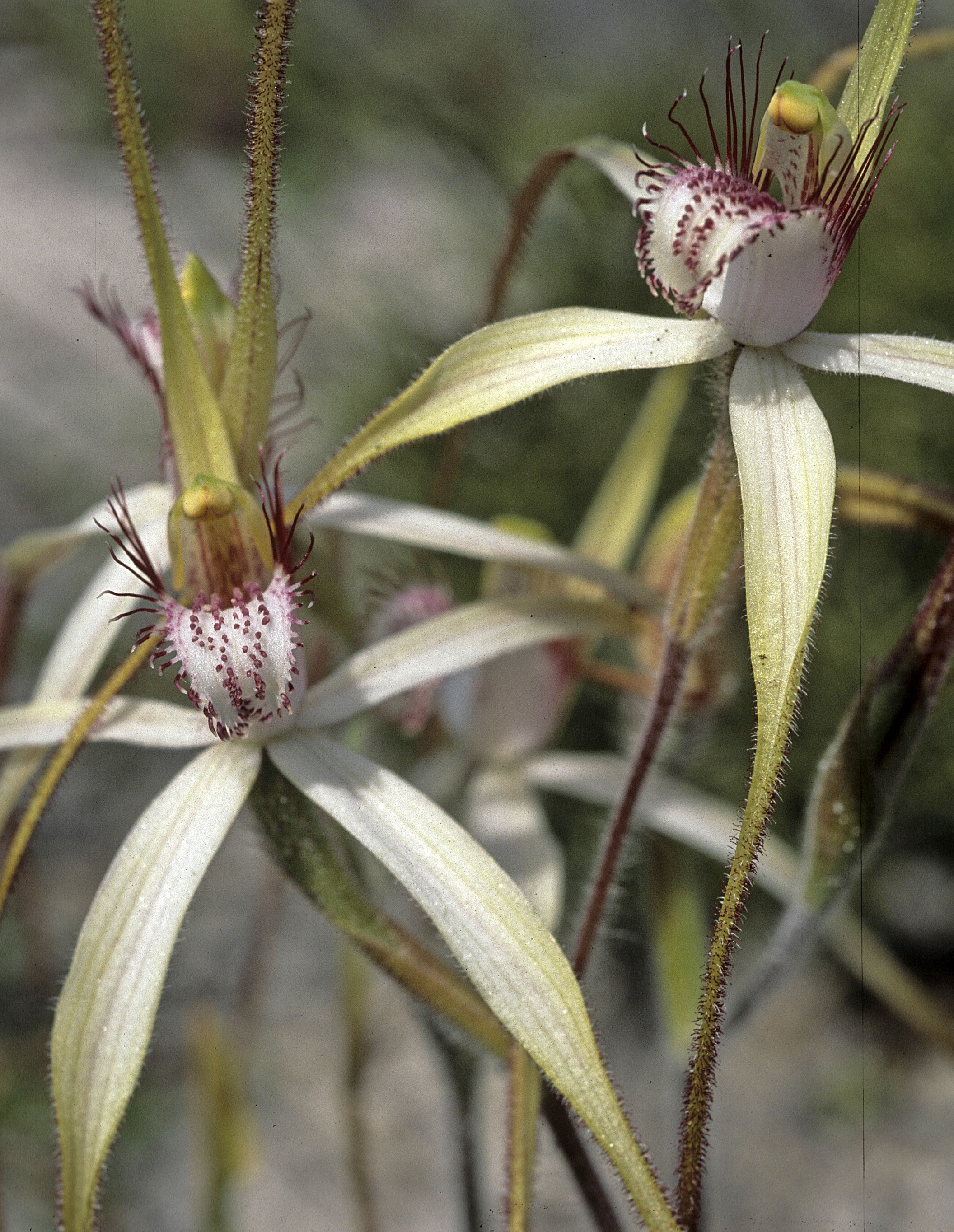Caladenia longicauda coll.