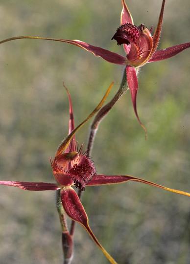 Caladenia decora