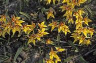 Caladenia flava
