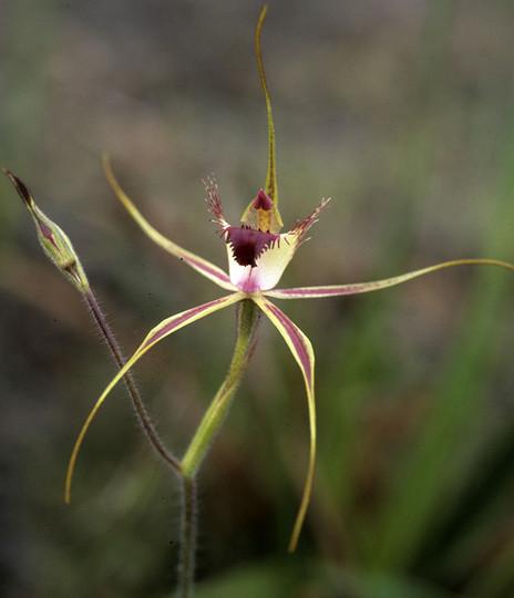 Caladenia huegelii