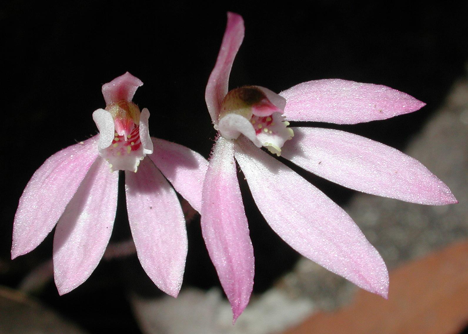 Caladenia pusilla