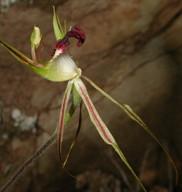 Caladenia tentaculata