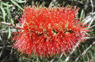 Callistemon rugulosus