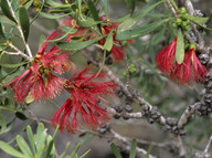Calothamnus homalophyllus