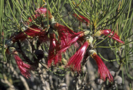 Calothamnus oldfieldii