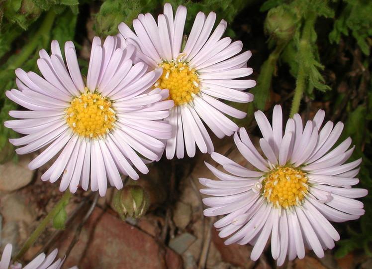 Calotis glandulosa