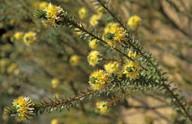 Calytrix ecalycata