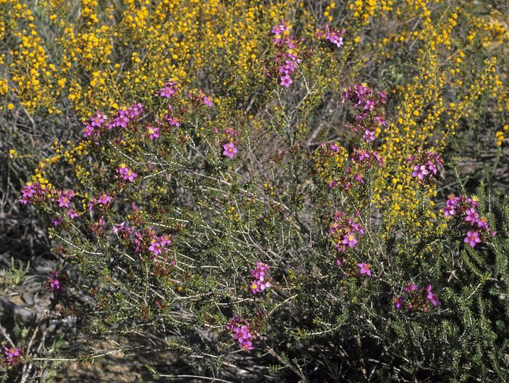Calytrix brevifolia