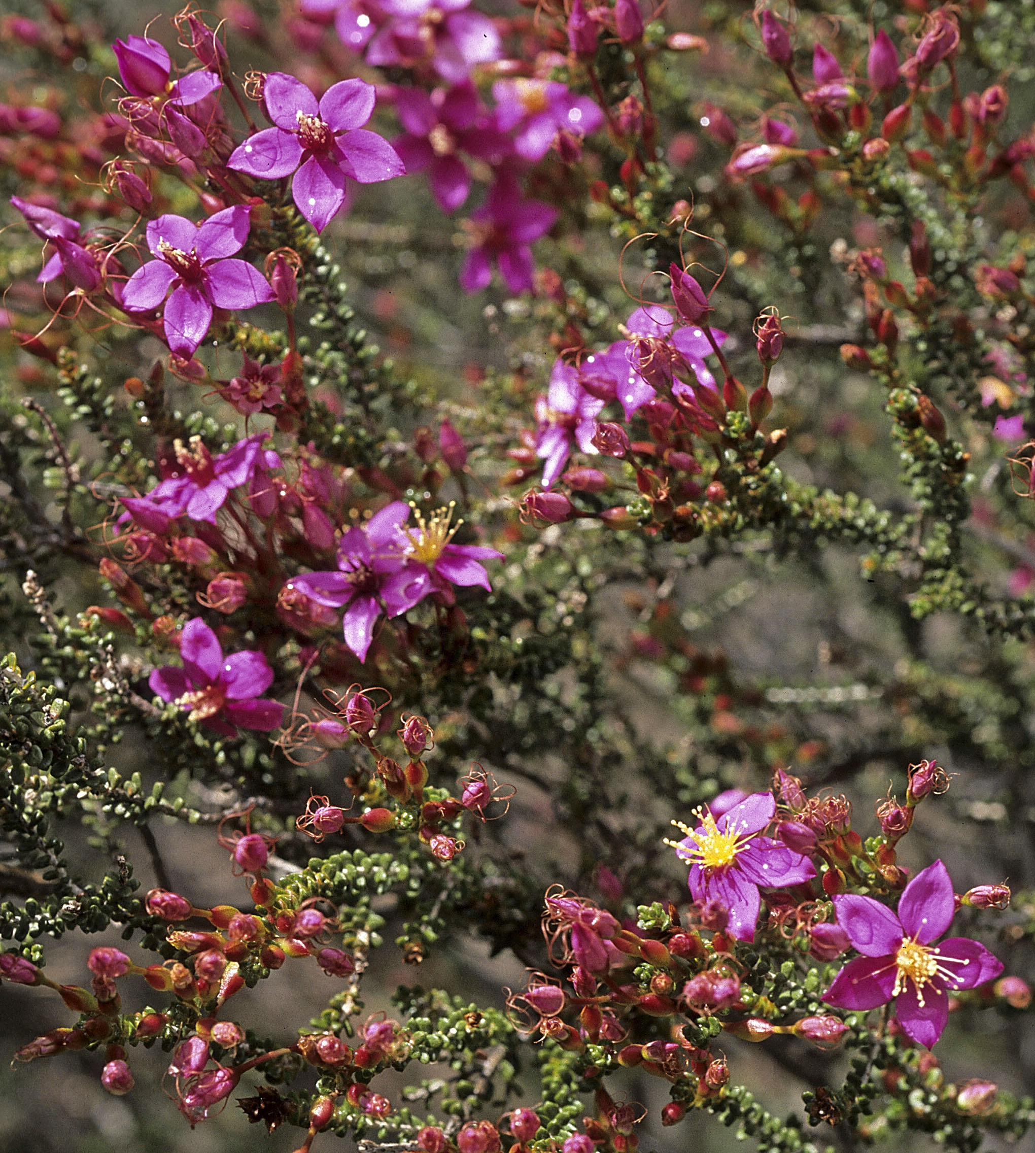 Calytrix brevifolia