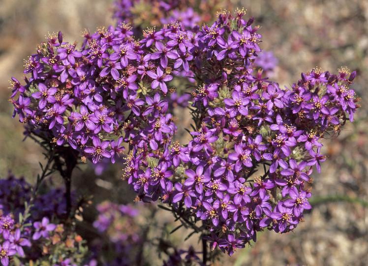 Calytrix leschenaultii
