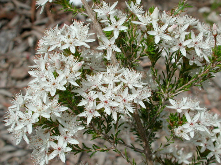 Calytrix sp.