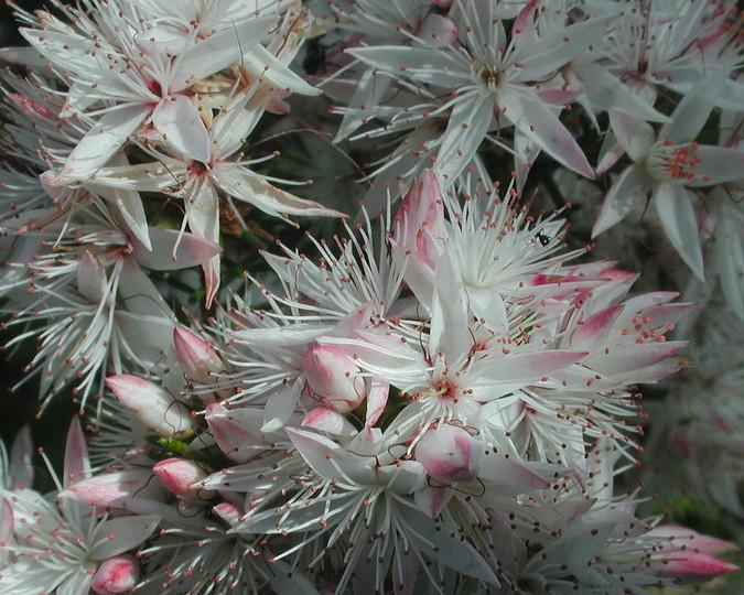 Calytrix alpestris