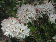 Calytrix alpestris