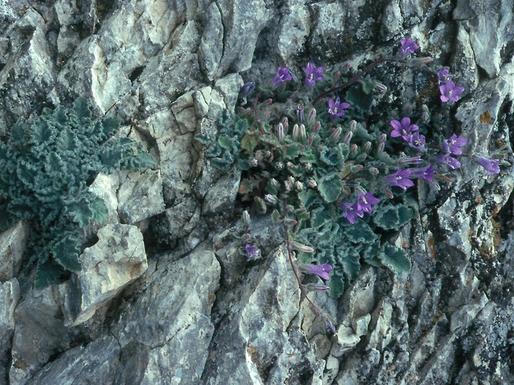 Campanula rupestris
