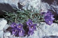 Edraianthus graminifolius