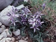 Asyneuma limonifolium