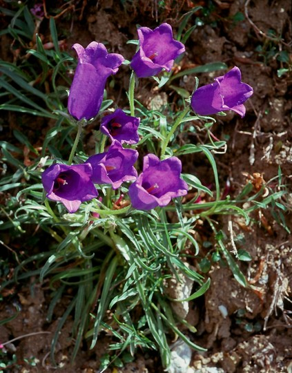 Campanula alpestris