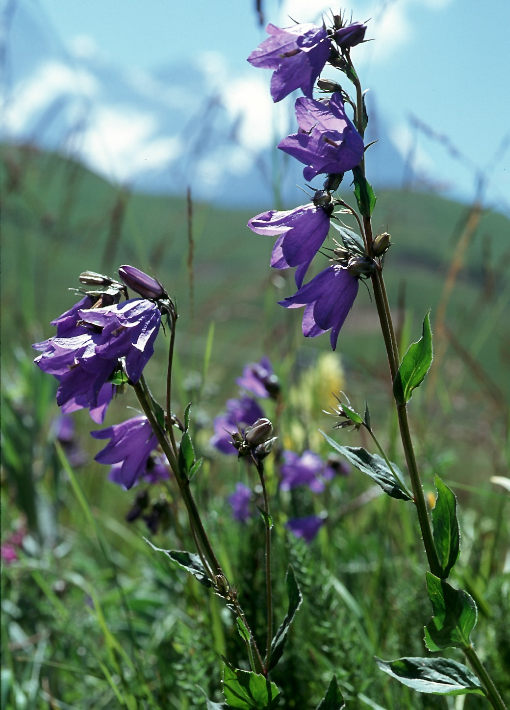 Campanula rhomboidalis