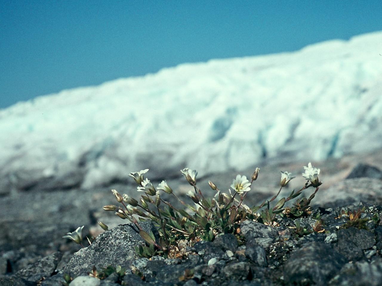 Cerastium alpinum ssp. glabratum