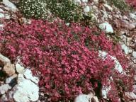 Saponaria ocymoides