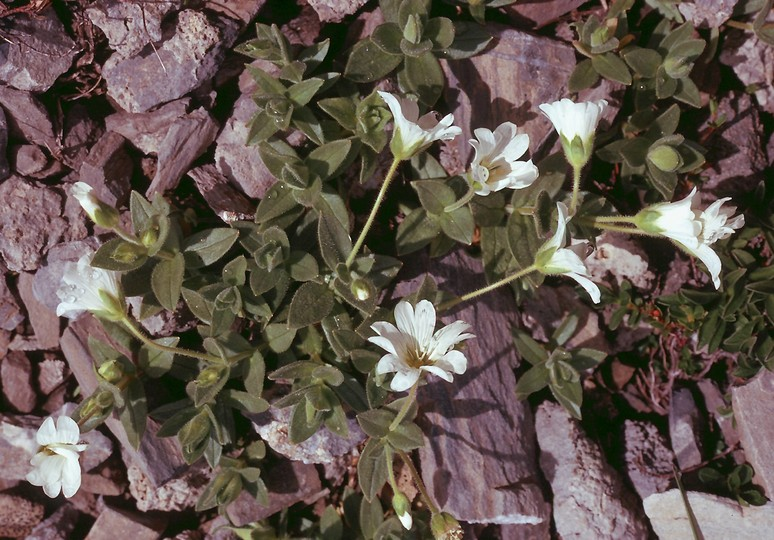 Cerastium latifolium