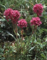 Lychnis alpina