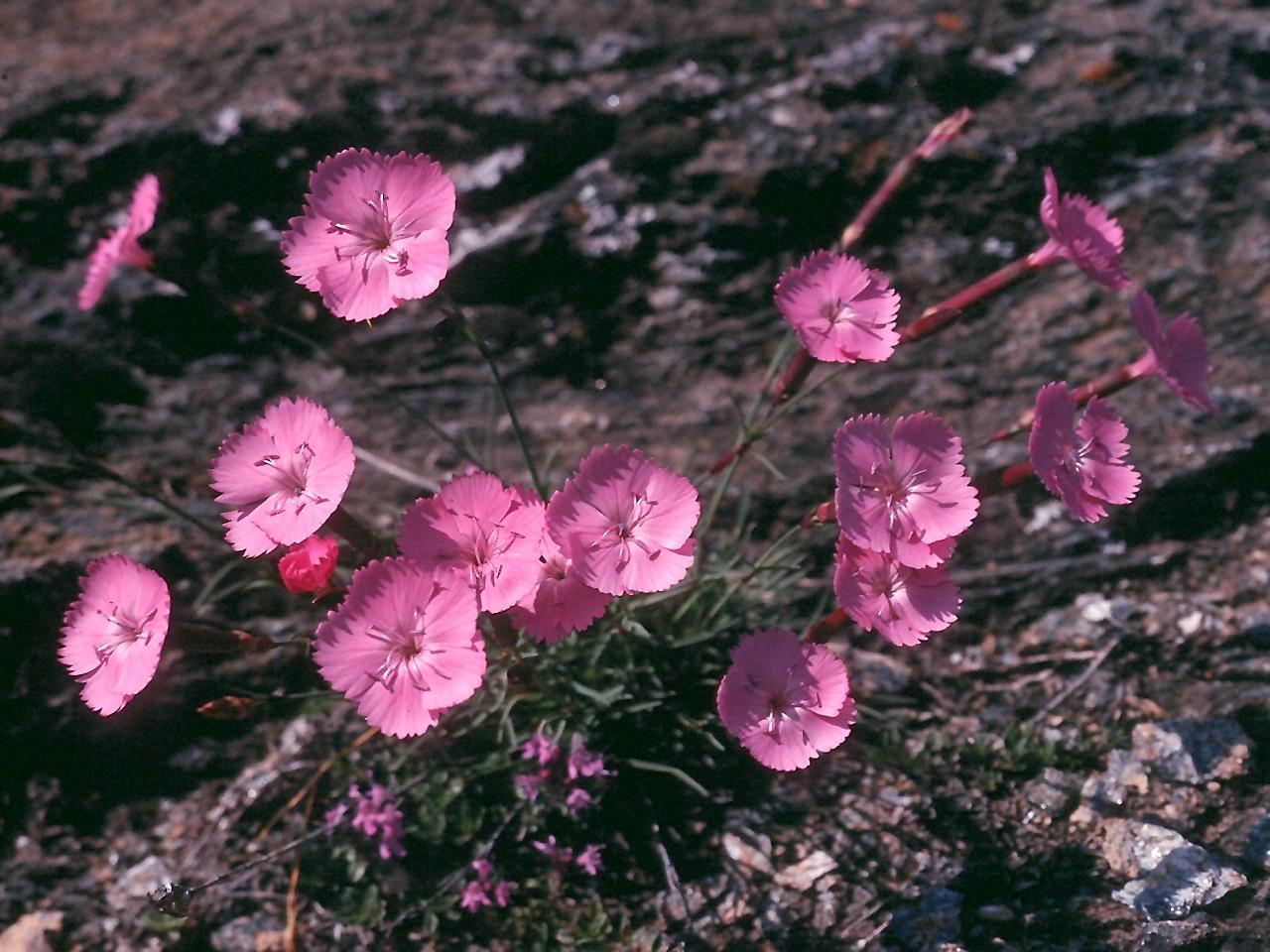 Dianthus sylvestris