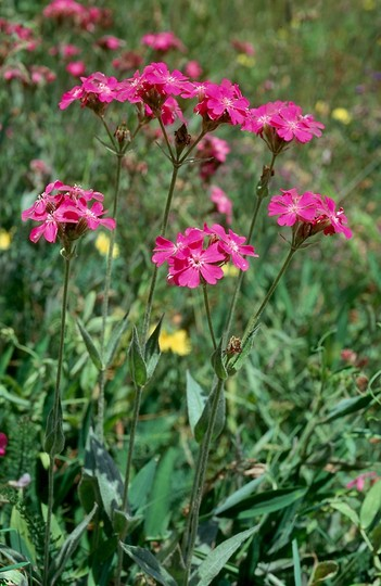 Lychnis flos-jovis