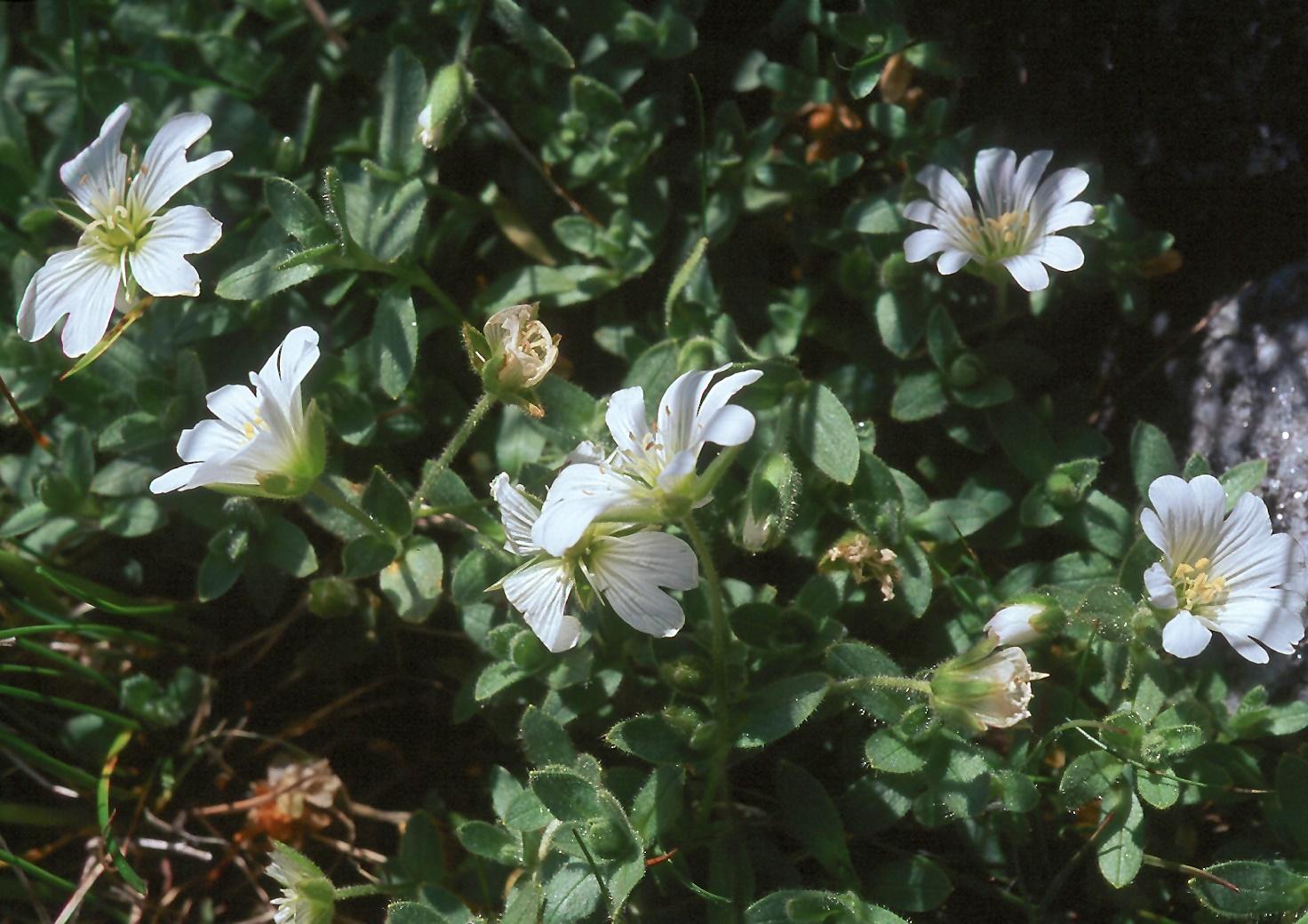 Cerastium alpinum