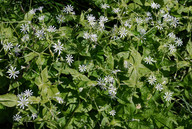 Stellaria nemorum