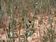 Vaccaria hispanica