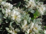 Paronychia argentea