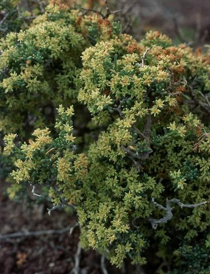 Gymnocarpus decander