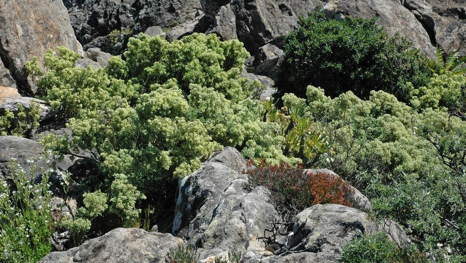 Paronychia canariensis