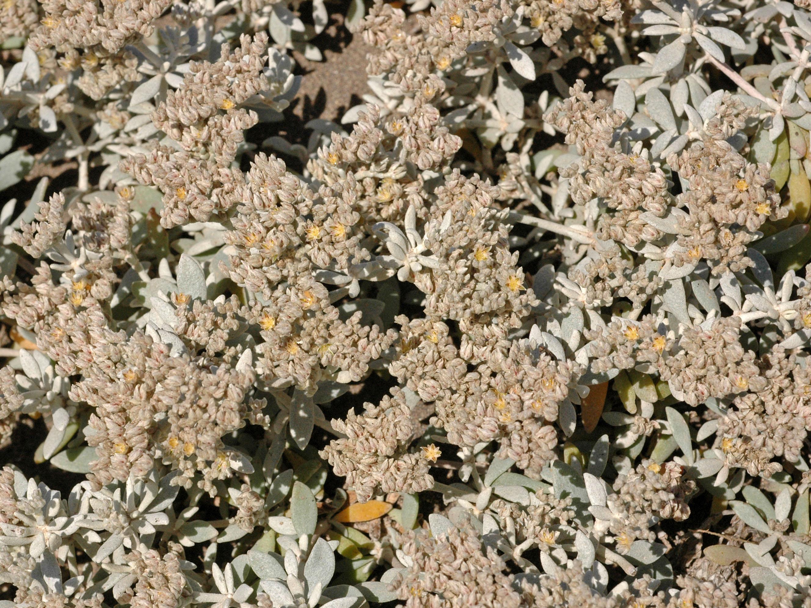 Polycarpaea nivea