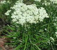 Cassinia longifolia