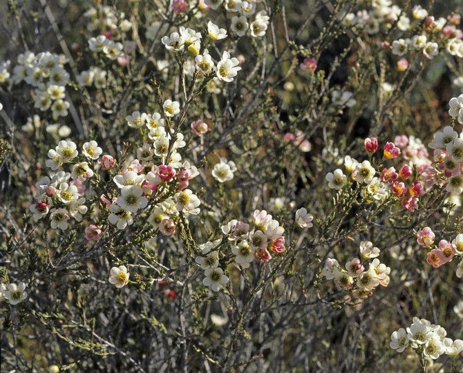 Chamelaucium megalopetalum
