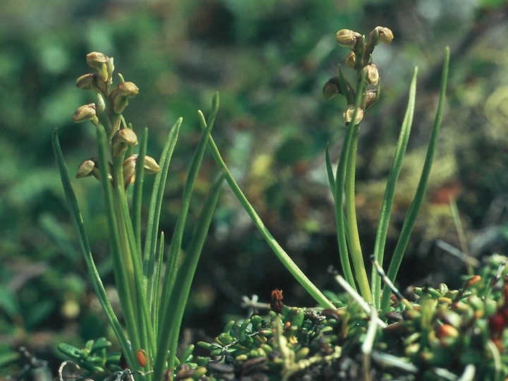 Chamorchis alpina