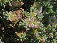Salsola vermiculata