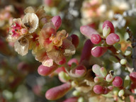 Salsola orotavensis