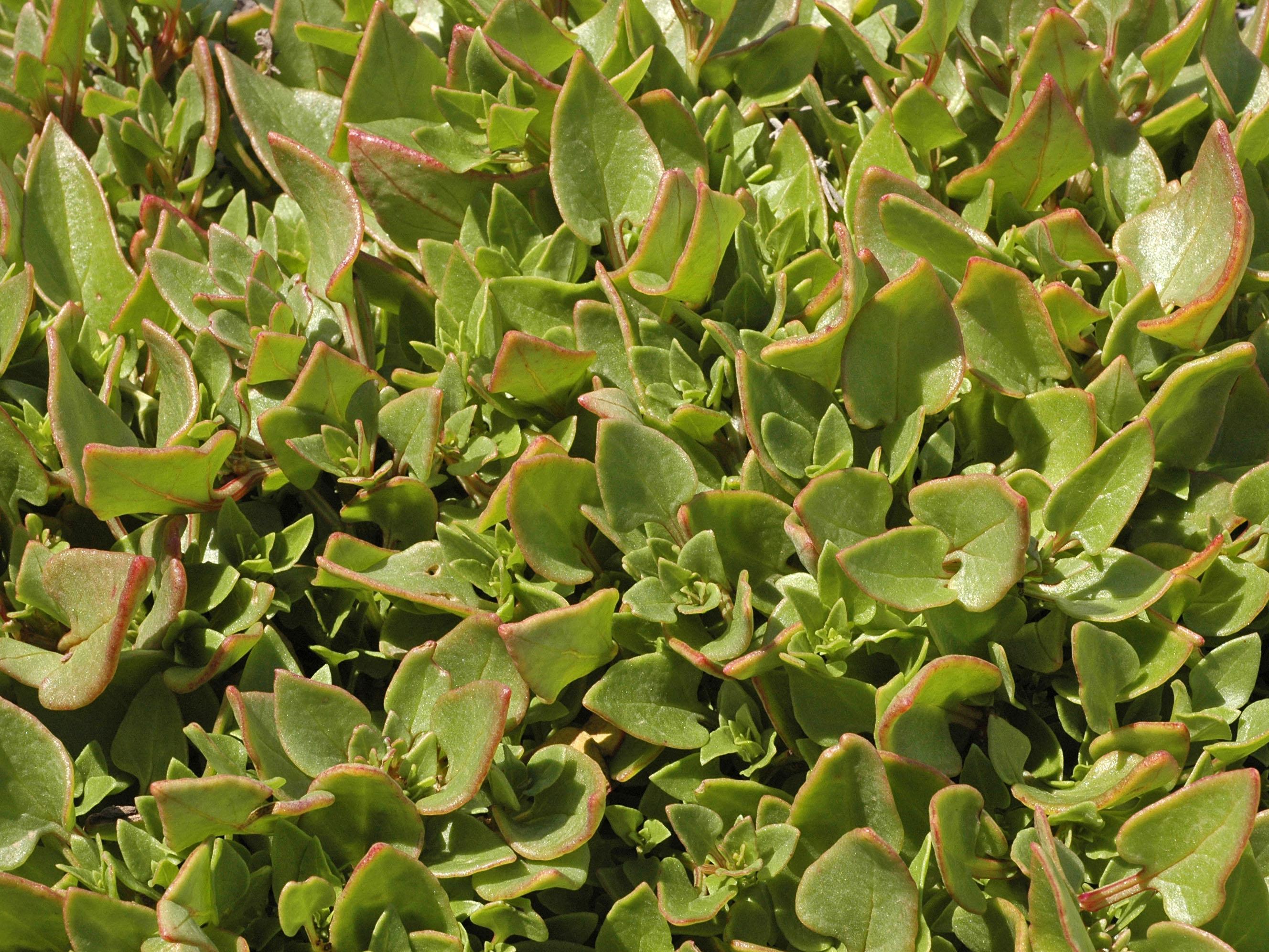 Patellifolia patellaris