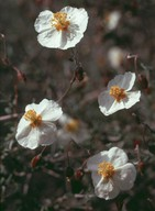 Helianthemum almeriense