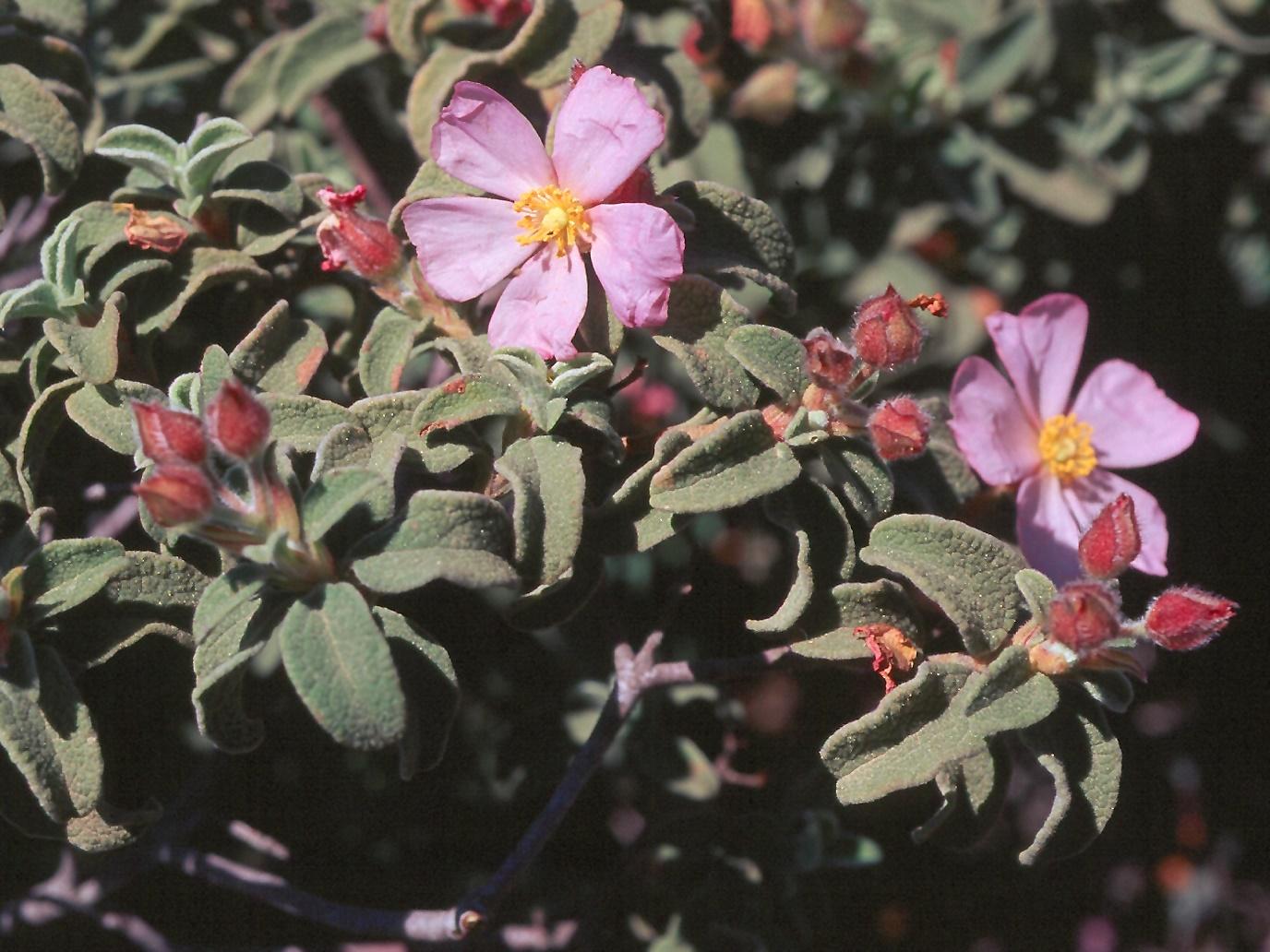 Cistus parviflorus