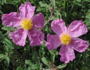 Cistus creticus