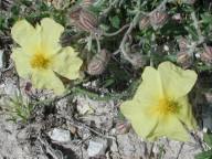 Helianthemum obtusifolium