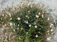 Helianthemum almeriense