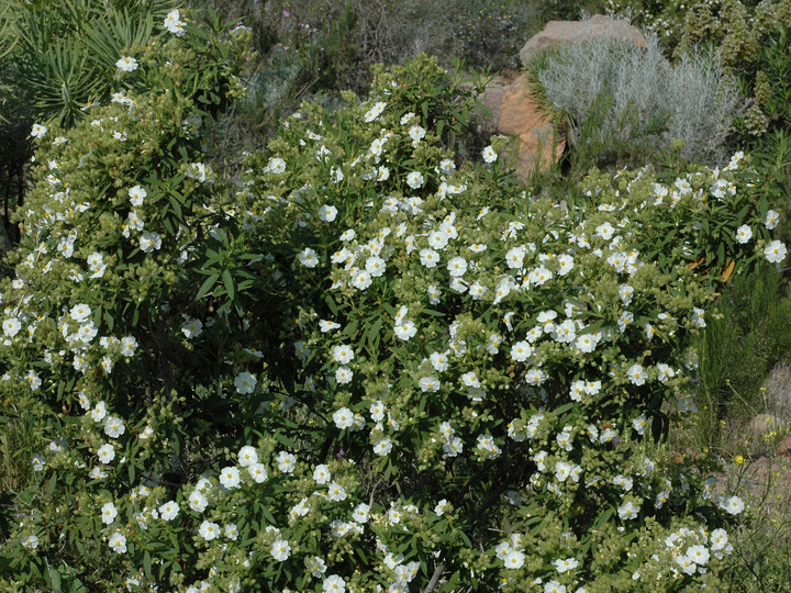 Cistus monspeliensis