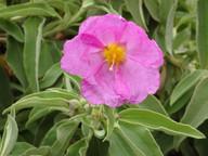 Cistus chinamadensis ssp. gomerae