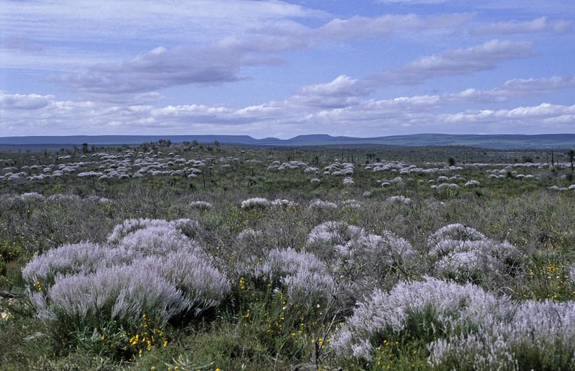 Conospermum sp.